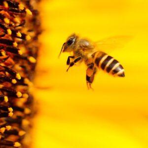 https://pixabay.com/de/photos/biene-insekt-sonnenblume-gelb-1948684/
